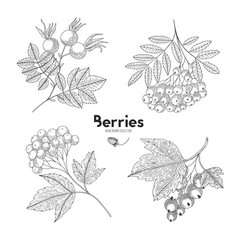 Viburnum rowan rosehip currant berries vector