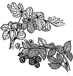 blackbarry and fig vector image vector image