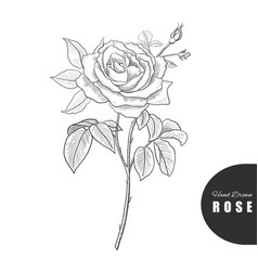 beautiful hand drawn rose vector image