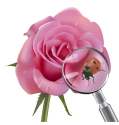 ladybug is under magnifying glass on rose vector image