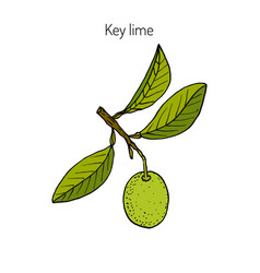 Lime branch with leaves vector
