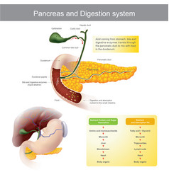 Pancreas and digestion system vector