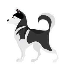 Isolated adorable black and white young Husky vector image