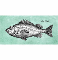 Ink sketch of rockfish vector