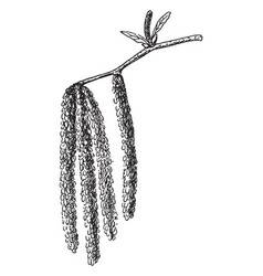 sweet birch branch vintage vector image vector image