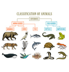 Classification of animals reptiles amphibians vector