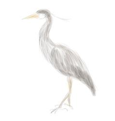 Grey heron vector