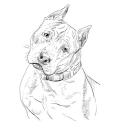 american staffordshire terrier hand drawing vector image