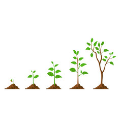 Tree grow plant growth from seed to sapling with vector