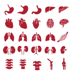 Internal human organs red vector