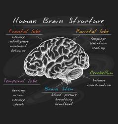 biology human brain structure on chalkboard vector image