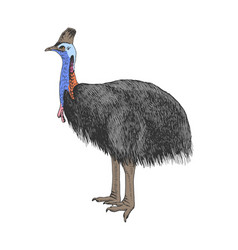 hand drawn cassowary isolated on white background vector image