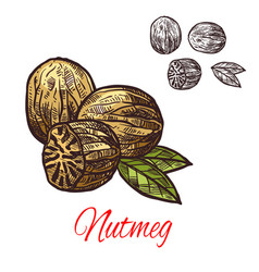 Nutmeg seasoning nut spice sketch icon vector