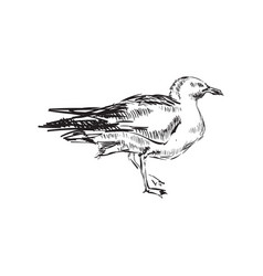 seagulls hand drawing vector image
