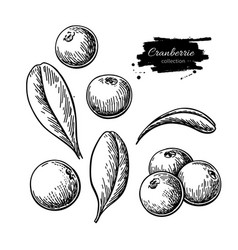 Cranberry drawing isolated berry heap vector
