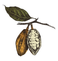 hand drawn cocoa beans vector image vector image