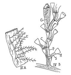 campanularian hydroid vintage vector image