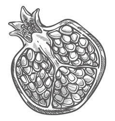 Pomegranate cut half with seeds monochrome sketch vector