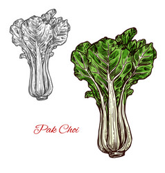 pak choi salad sketch vegetable icon vector image