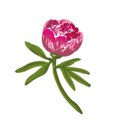 the single flowering bright pink peony vector image vector image