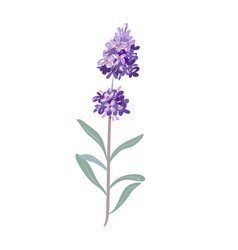 lavender flowers on a white background vector image vector image