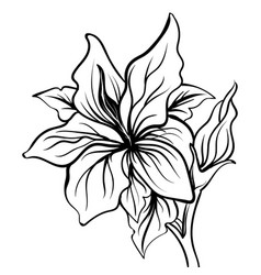 Lily sketch flower lily flower hand drawing vector