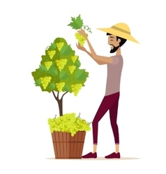 Man Picking Grape During Wine Harvest vector image