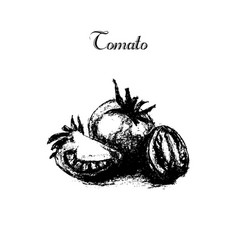 Hand drawn vintage isolated tomato vector