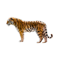 Tiger from a splash watercolor colored drawing vector