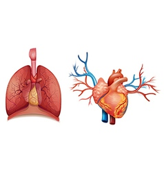 Heart organ vector