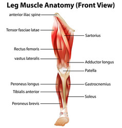 Leg muscle anatomy front view vector