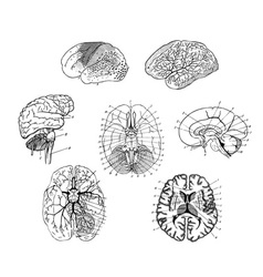 Human brains structure vector image