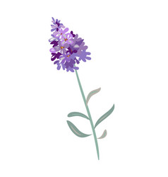 Lavender flowers on a white background vector
