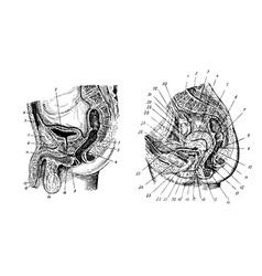 Human sex organs vector image