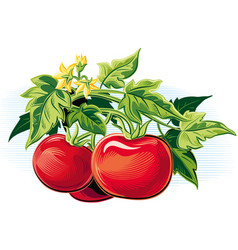 Branch of tomatoes with some ripe fruits vector