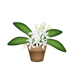 Beautiful White Cape Jasmine A Terracotta Pot vector