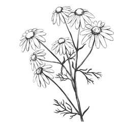 chamomile herb medicinal daisy hand drawn vector image