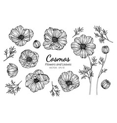 Collection set of cosmos flower and leaves vector
