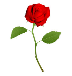 a beautiful red rose vector image