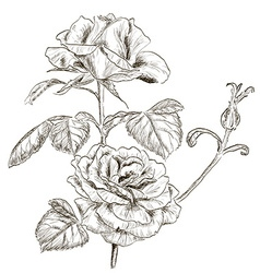 Hand drawn rose sketch vector