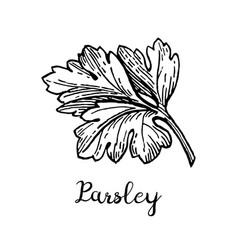 Parsley ink sketch vector