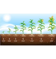 Growing corn on the ground vector