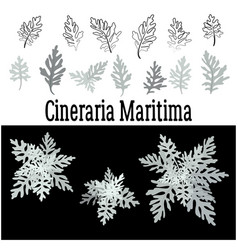 Plant cineraria maritima set vector