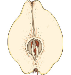 Ripe quince in cross section vector