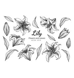 collection set of lily flower and leaves drawing vector image