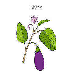 Eggplant with leaves and flower vector