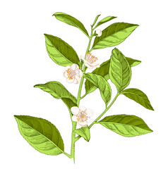 hand drawn blooming tea plant branch vector image