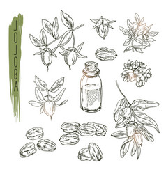 Set of jojoba elements realistic sketch of vector