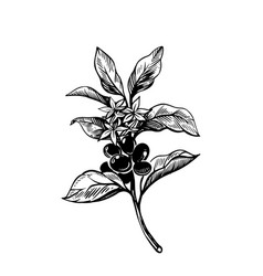 coffee branch with coffee fruits sketch style vector image