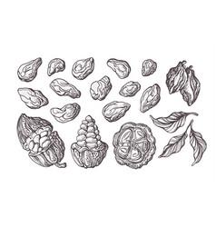cocoa set botanical sketch vector image